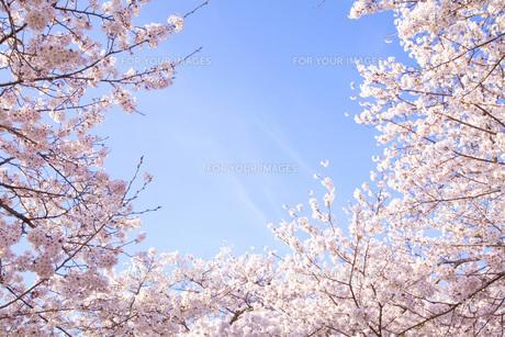 桜ソメイヨシノの素材 [FYI00232609]