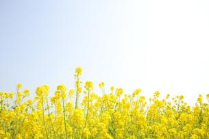 菜の花畑の素材 [FYI00232625]