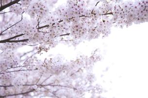 桜ソメイヨシノの素材 [FYI00232635]