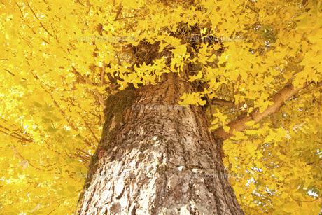 銀杏の木の素材 [FYI00232893]