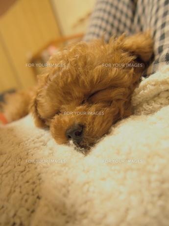 トイプードルの安らかな眠り2の写真素材 [FYI00232980]