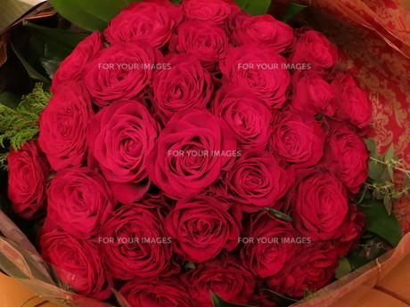 red rosesの写真素材 [FYI00233079]