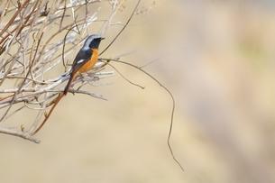 里山の冬鳥・ジョウビタキの写真素材 [FYI00233102]