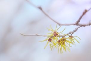 里山の春を告げる満作(マンサク)の花の写真素材 [FYI00233119]