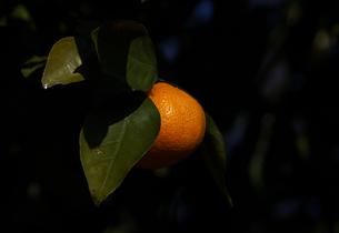 ウンシュウミカン橙色の果実の素材 [FYI00233126]