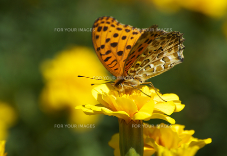ツマグロショウモン黄色い花左向きの写真素材 [FYI00233146]