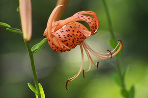 オニユリ橙色の花の写真素材 [FYI00233171]