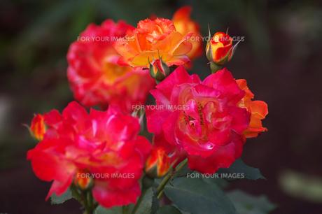 ふれ太鼓オレンジ色の花と蕾の写真素材 [FYI00233180]