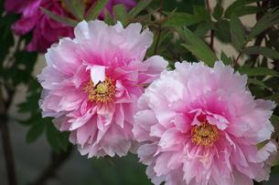 八千代椿ピンクの写真素材 [FYI00233200]