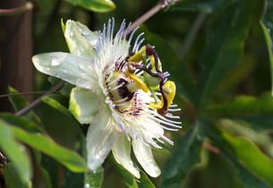 トケイソウ白い花の写真素材 [FYI00233212]