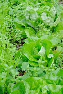 サラダ菜の写真素材 [FYI00233303]