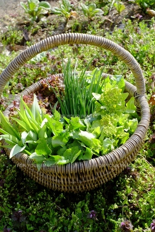 サラダ菜の写真素材 [FYI00233360]