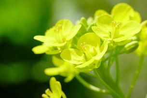 菜の花の写真素材 [FYI00233391]