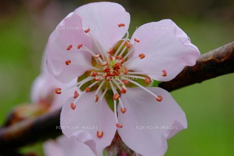 桃の花の素材 [FYI00233405]