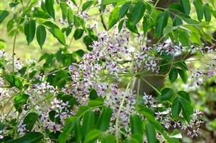 センダンの花の写真素材 [FYI00233508]