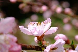 梅の花の写真素材 [FYI00233744]