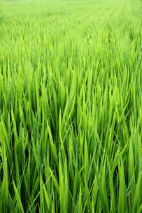稲の写真素材 [FYI00233873]