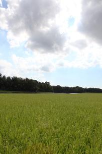 稲田の景色の写真素材 [FYI00233877]