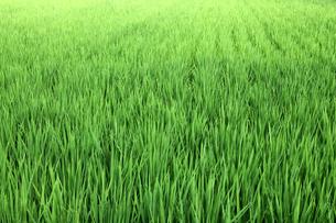 稲の写真素材 [FYI00233889]