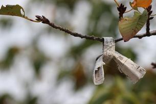 枝に結ばれたおみくじの写真素材 [FYI00234157]