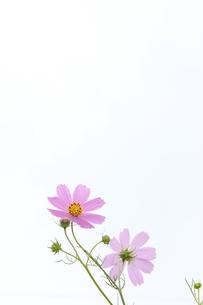 ピンクのコスモスの写真素材 [FYI00234163]