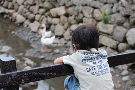 アヒルを見る子供の写真素材 [FYI00234164]