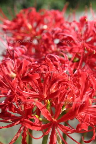 赤い彼岸花の写真素材 [FYI00234168]