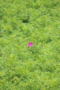 一輪だけ咲いていたコスモスの写真素材 [FYI00234176]