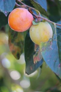 二個の渋柿の写真素材 [FYI00234182]