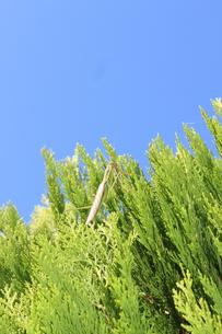 木の上にいるカマキリの写真素材 [FYI00234198]