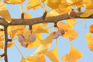 銀杏の木と銀杏の写真素材 [FYI00234210]