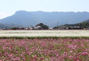 コスモス畑と八面山の写真素材 [FYI00234220]