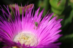 マツバギクの花の中にいるバッタの赤ちゃんの写真素材 [FYI00234233]