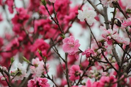 2色のきれいな源平桃の写真素材 [FYI00234260]