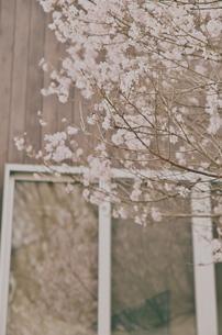 桜の写真素材 [FYI00234860]