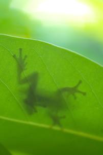 カエルの影の写真素材 [FYI00234916]