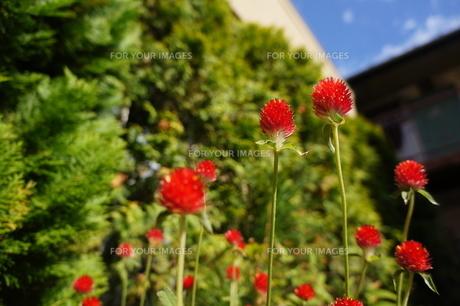 赤いセンニチコウ 秋晴れの青空の写真素材 [FYI00234954]