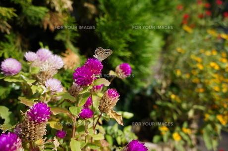 紫のセンニチコウと蝶(シジミチョウ) 秋晴れの日の写真素材 [FYI00234959]