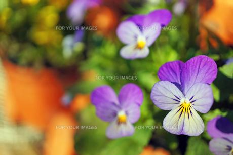 薄紫色のビオラ(ヴィオラ) 秋晴れの日の写真素材 [FYI00234968]