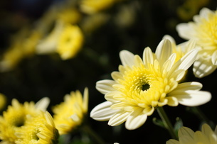 白いガーデンマムの咲き始めの写真素材 [FYI00234972]