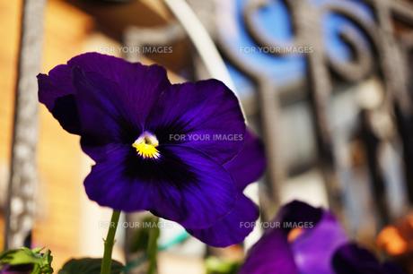 深紫色のパンジーの写真素材 [FYI00234978]