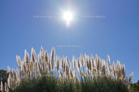 パンパスグラスと太陽の写真素材 [FYI00234999]