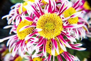 菊の花の写真素材 [FYI00235305]