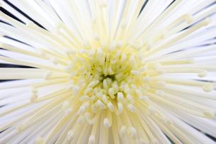菊の花の写真素材 [FYI00235312]