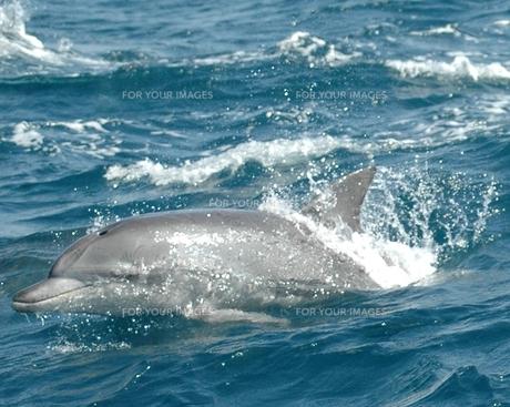 海豚…の写真素材 [FYI00235439]