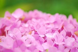 ピンクのアジサイの写真素材 [FYI00235560]