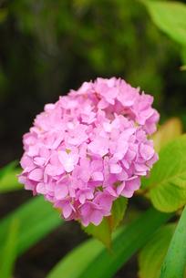 ピンクのアジサイの写真素材 [FYI00235561]