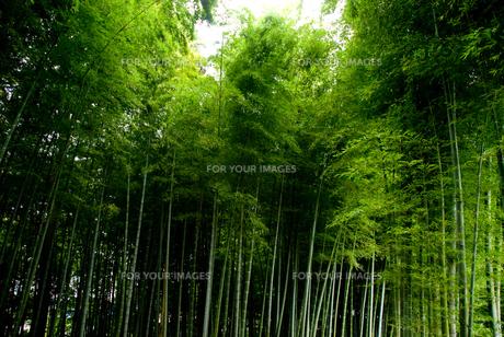 孟宗竹の竹林の素材 [FYI00235875]