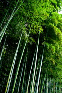 孟宗竹の林の素材 [FYI00235881]