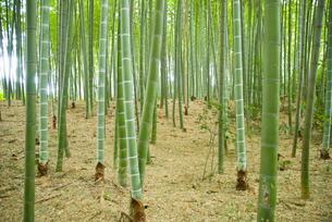 孟宗竹の林の素材 [FYI00235892]